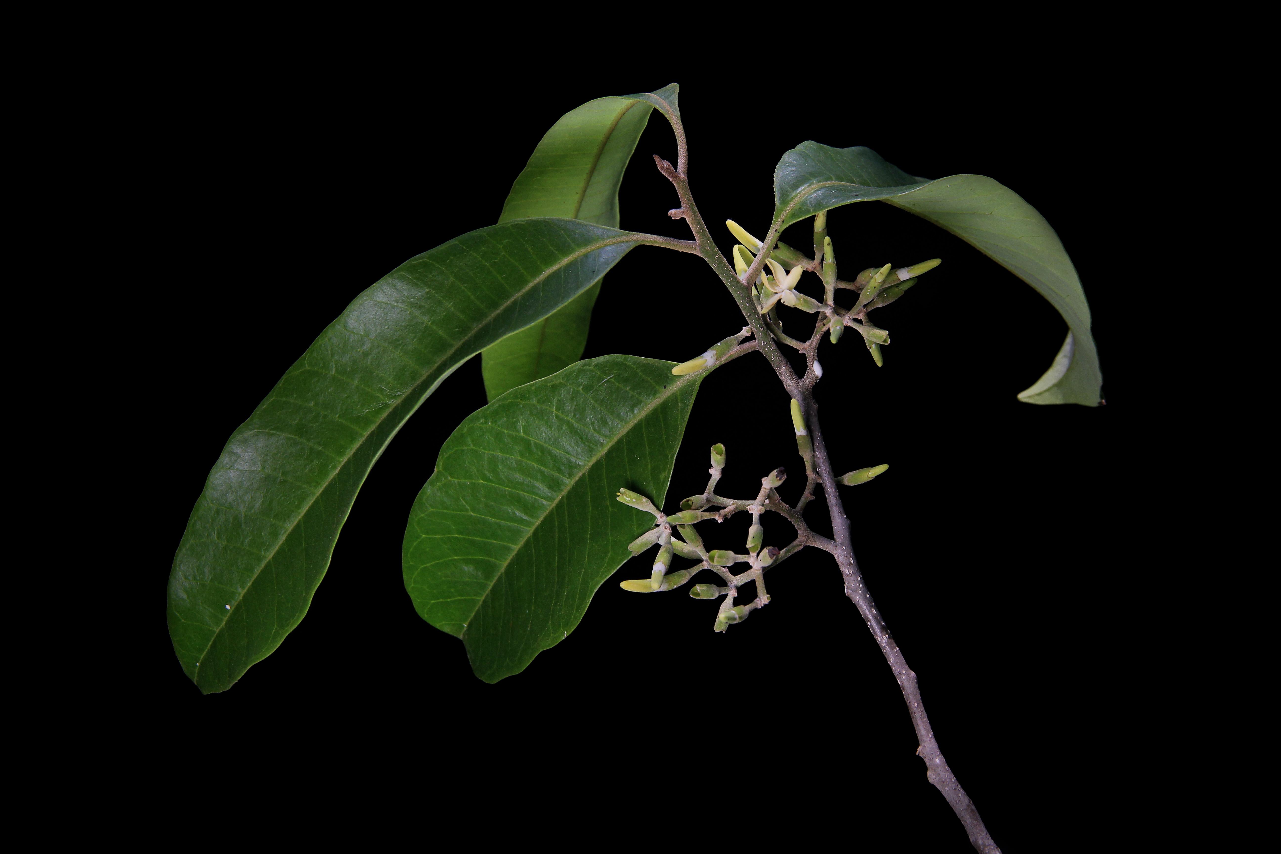 Aspidosperma megalocarpon image