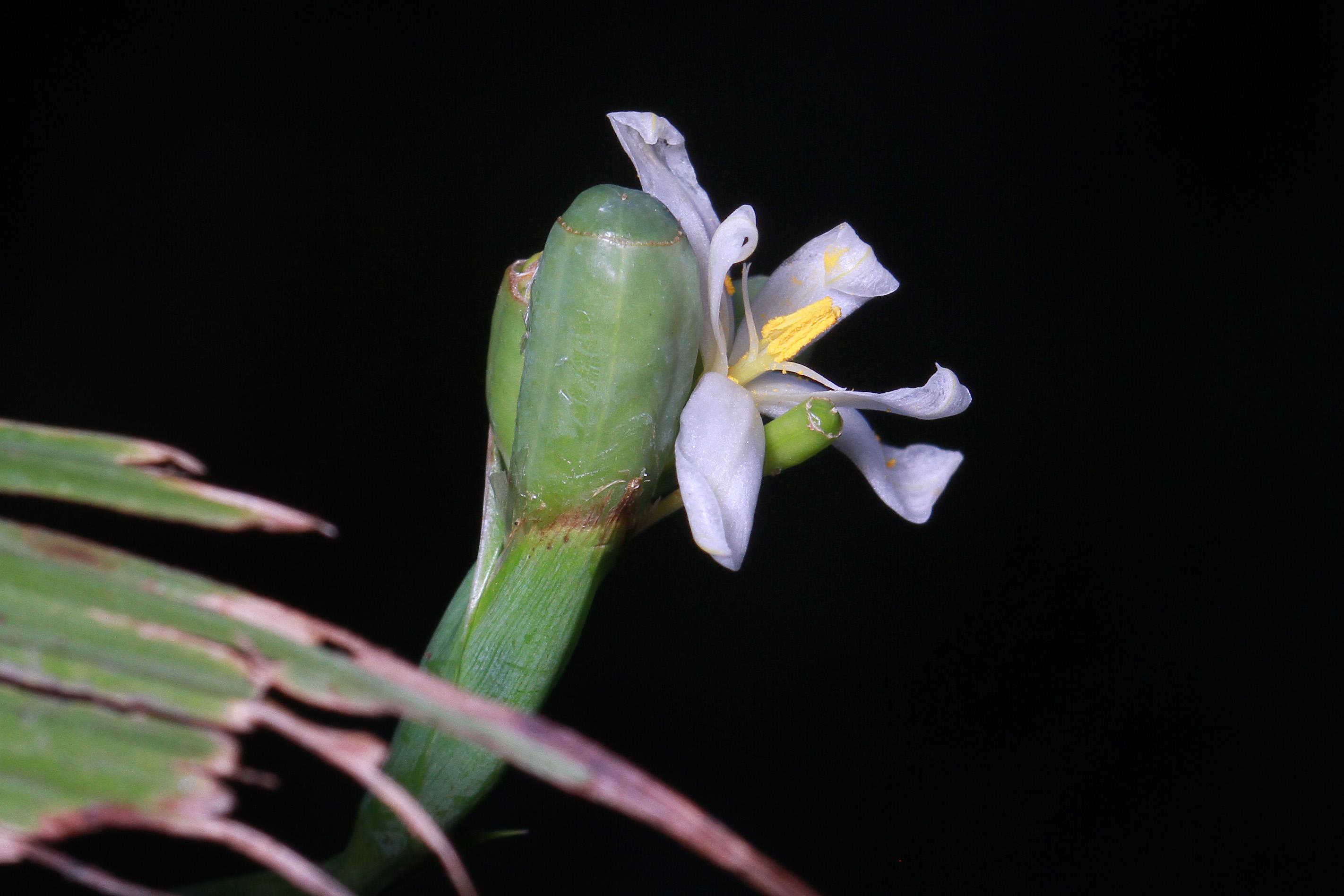 Eleutherine latifolia image