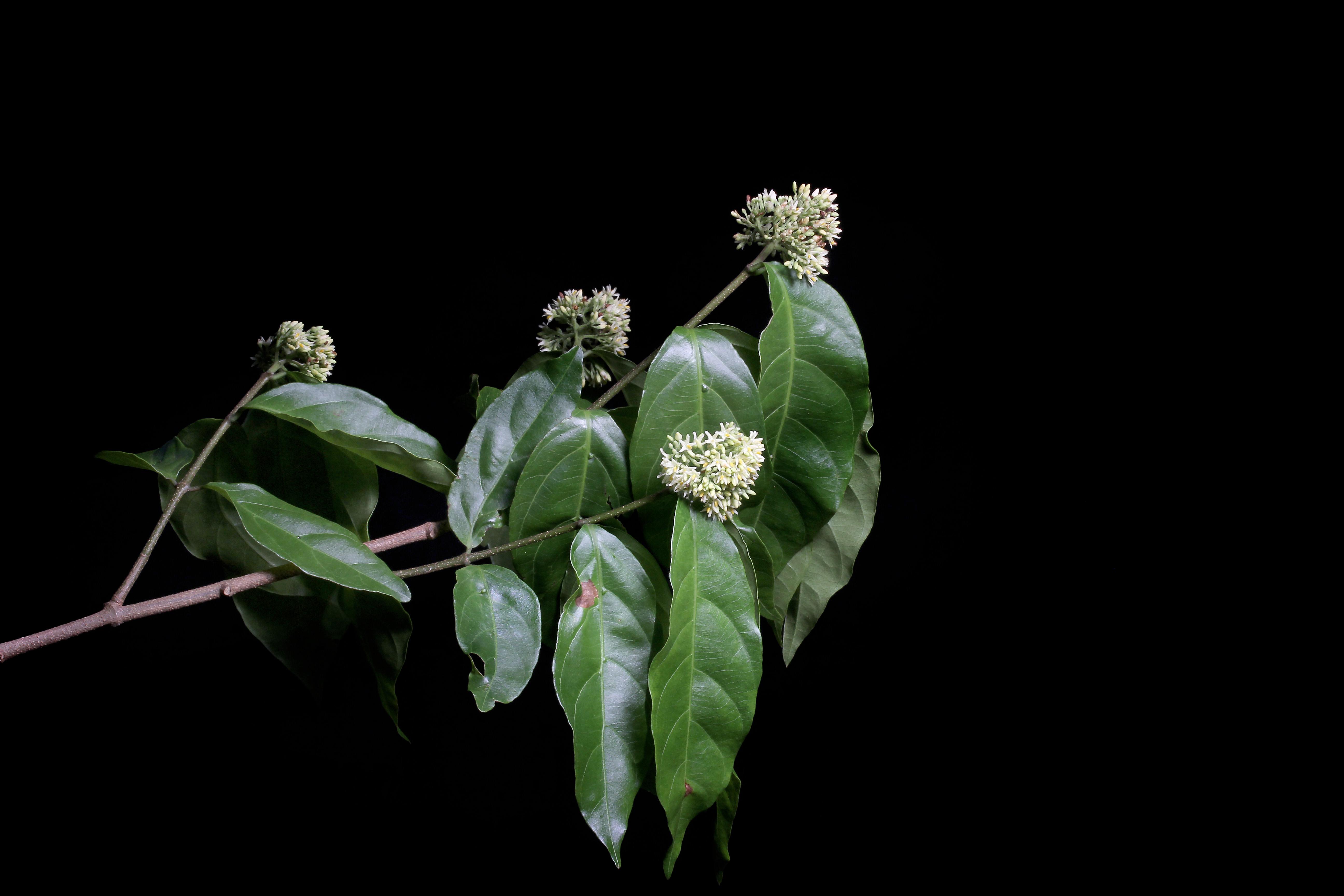Forsteronia myriantha image
