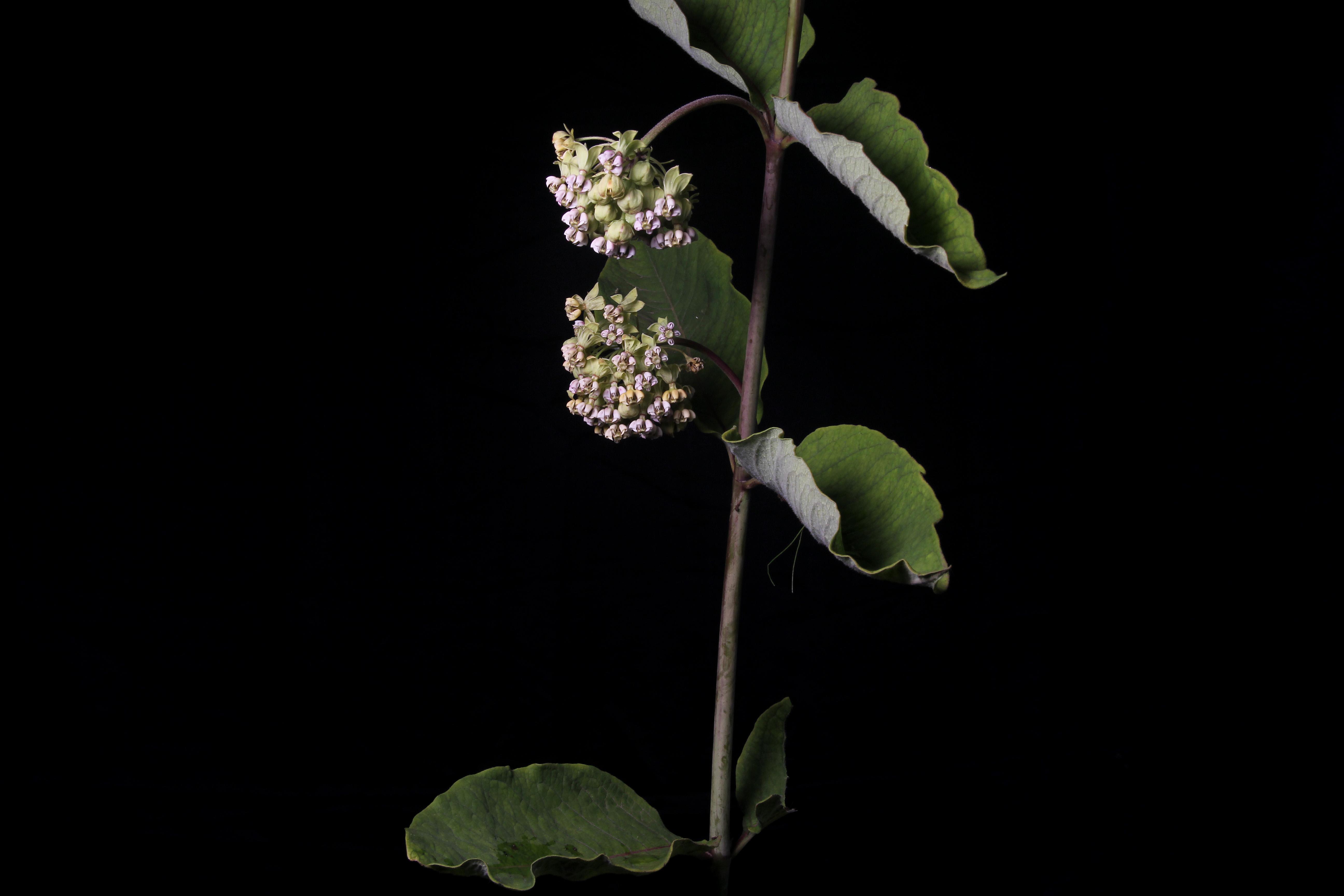 Asclepias similis image