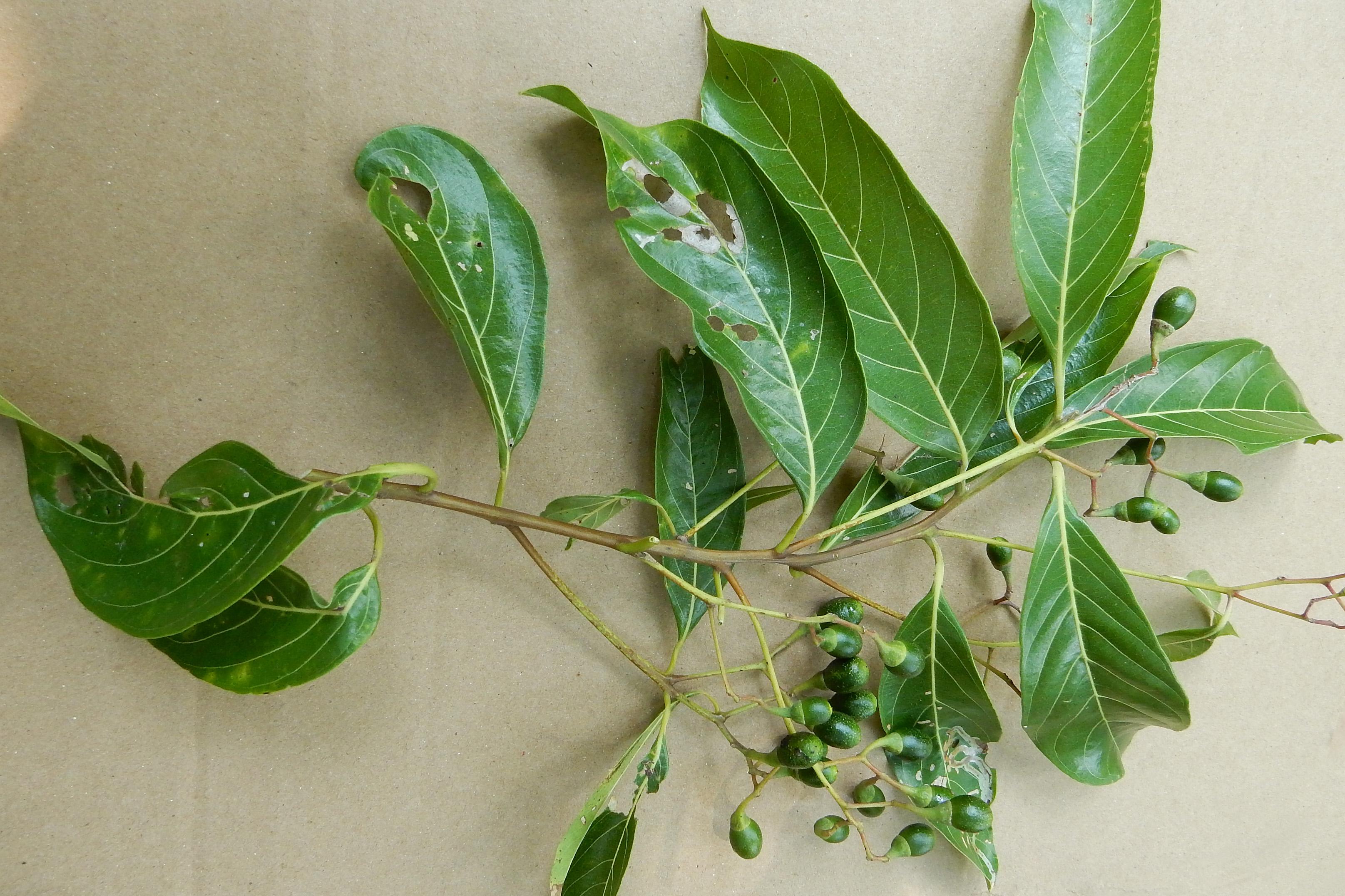 Nectandra hihua image