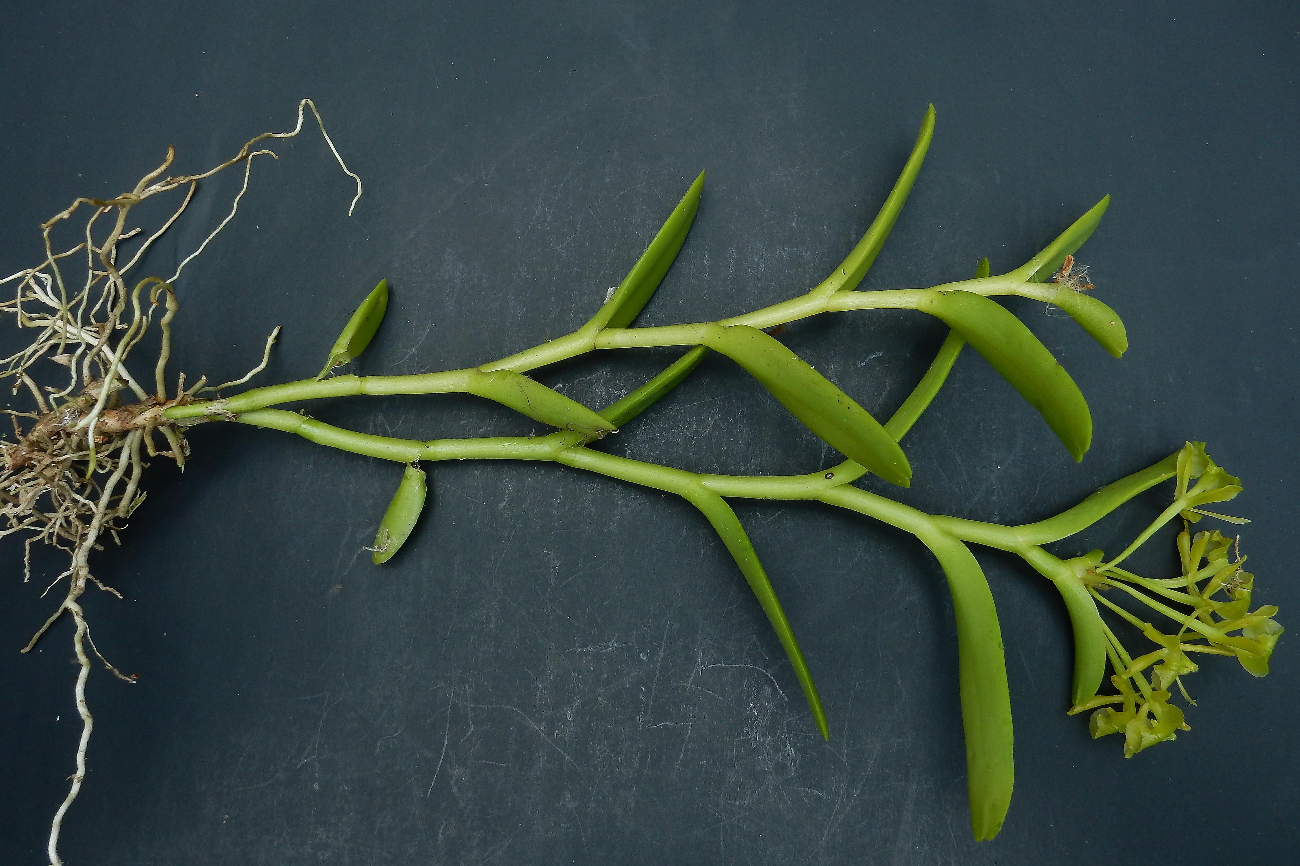 Epidendrum citrosmum image