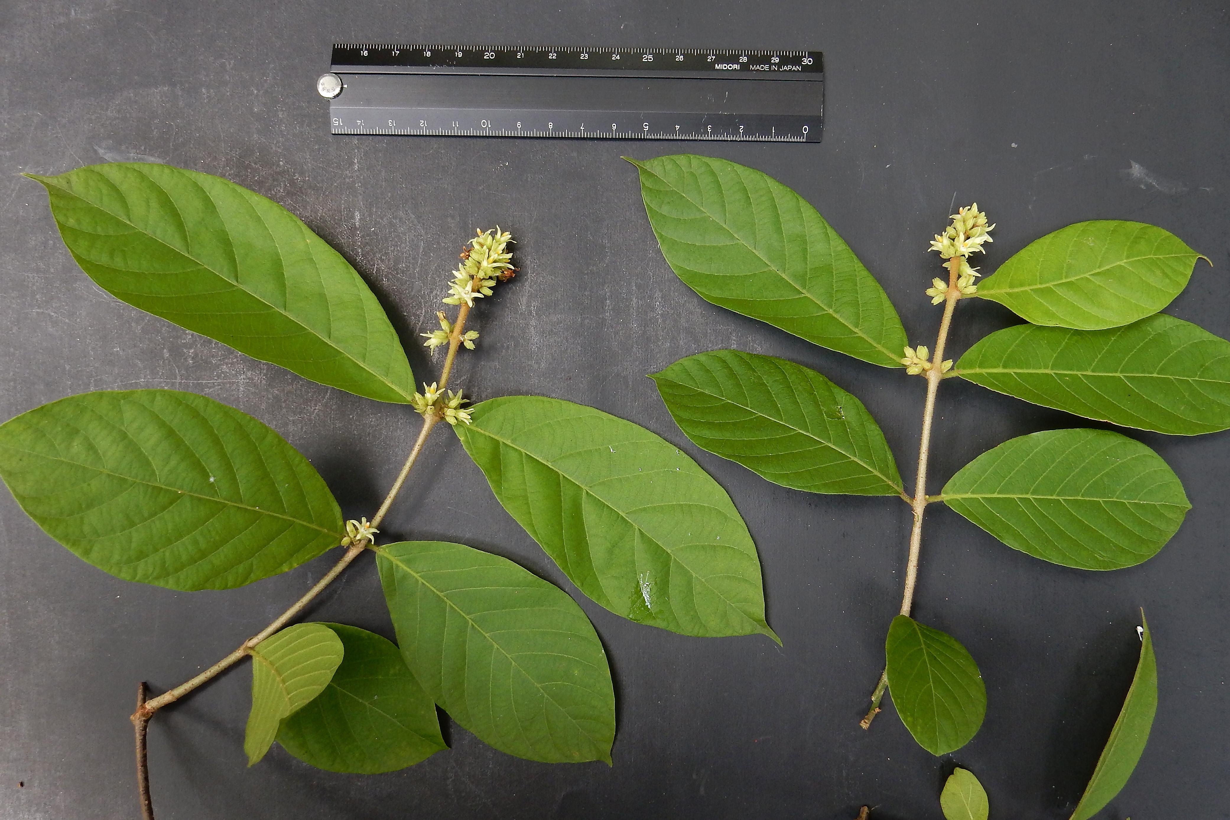 Forsteronia spicata image