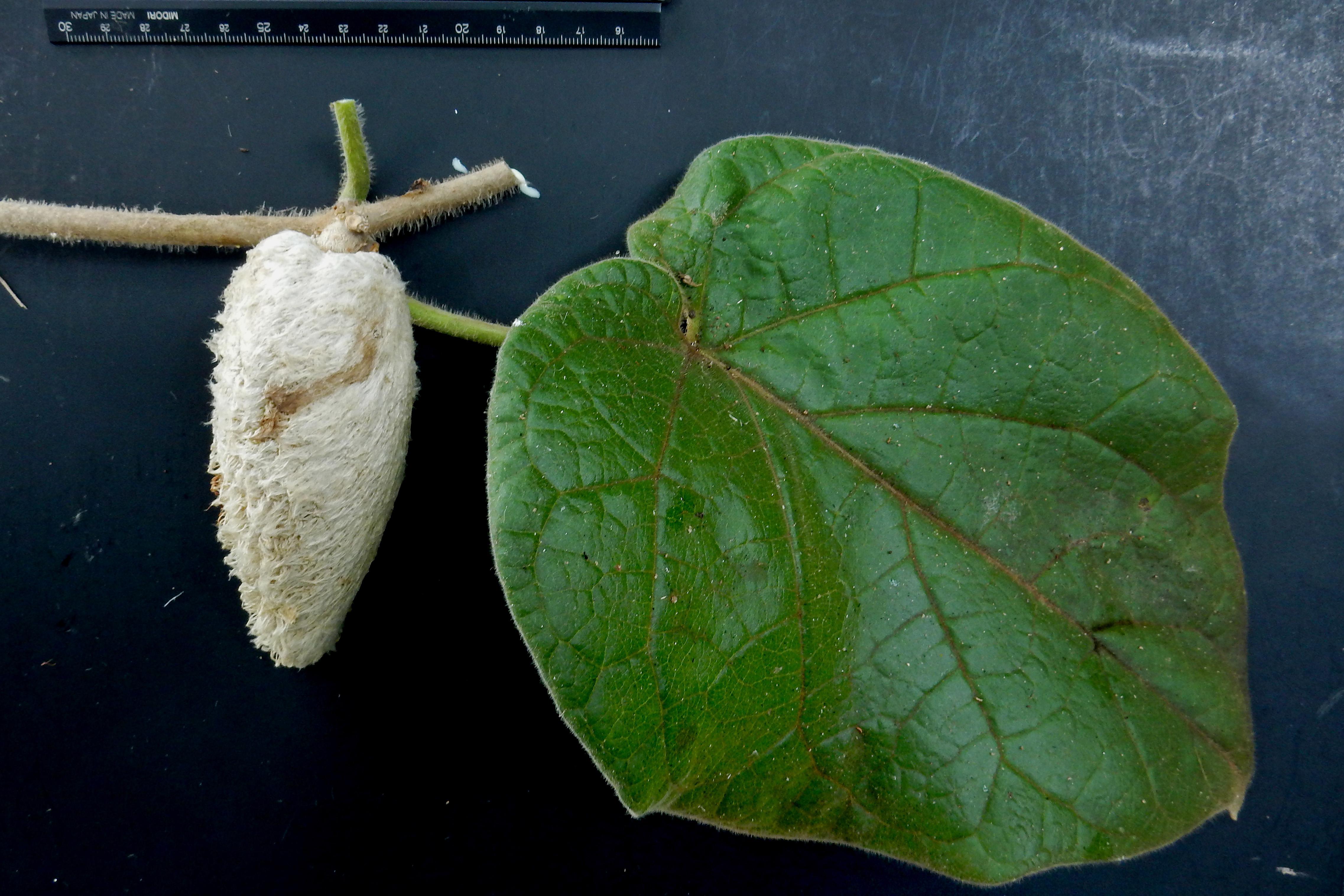 Marsdenia lanata image