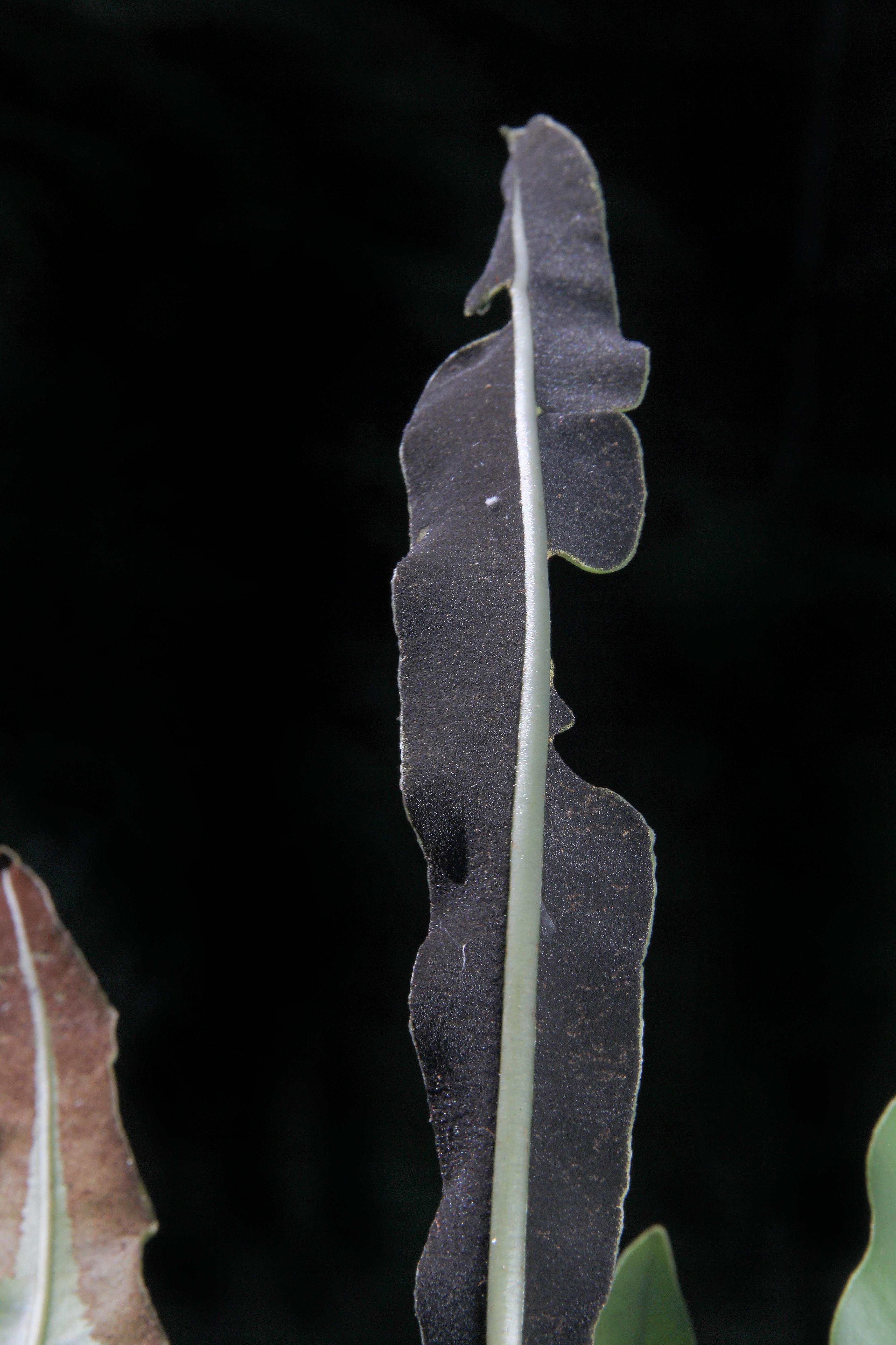 Elaphoglossum mesoamericanum image