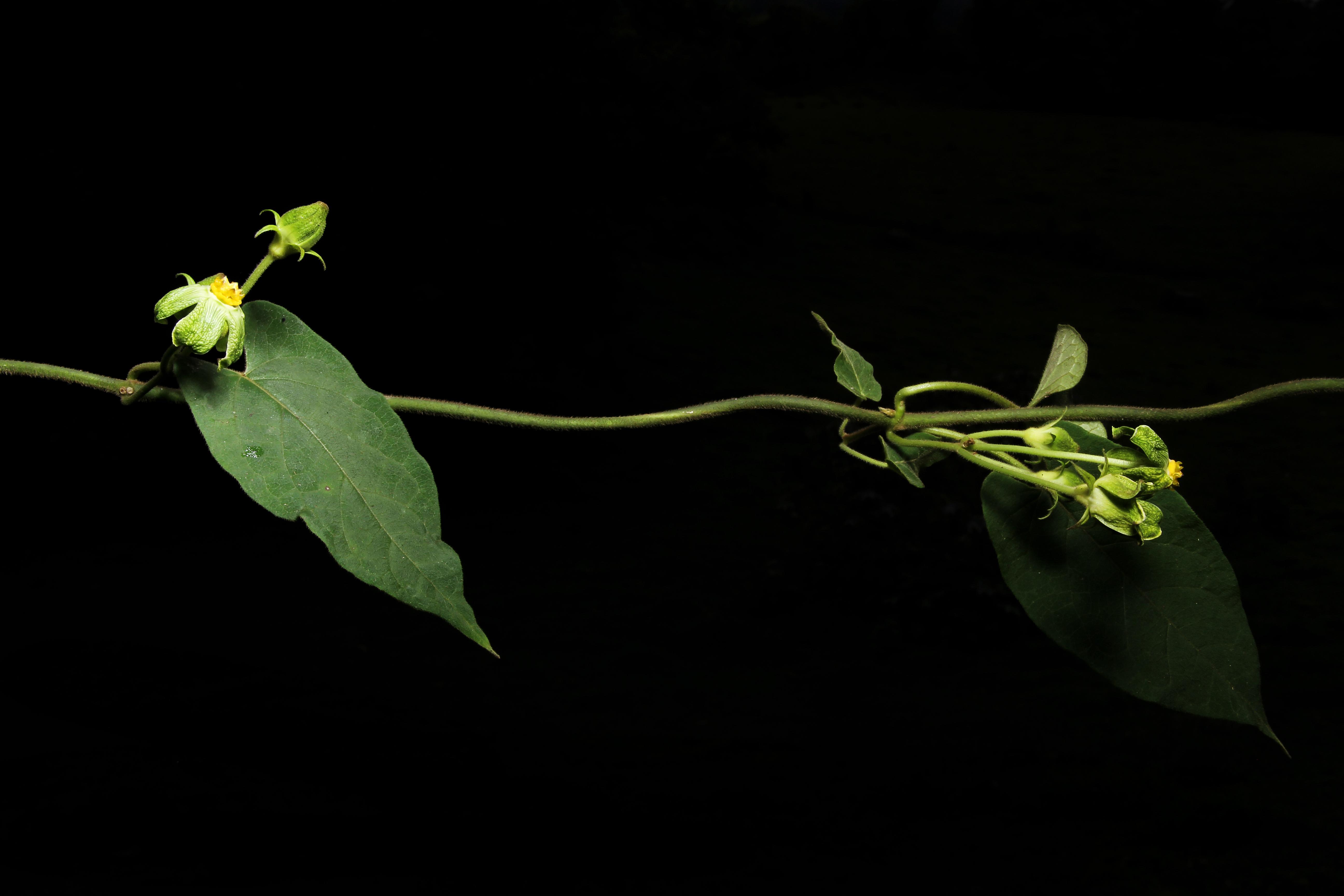 Gonolobus chloranthus image