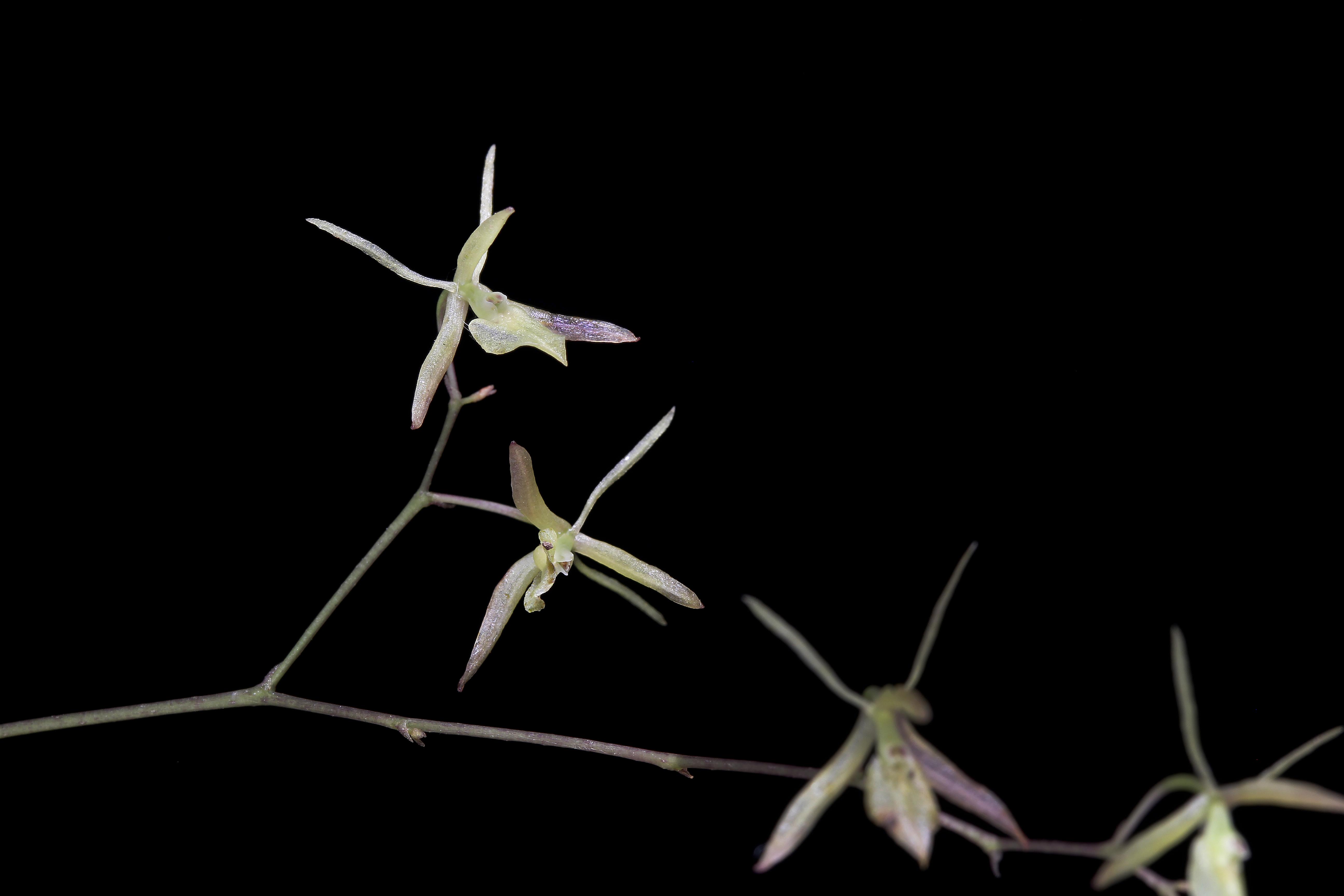 Epidendrum diffusum image