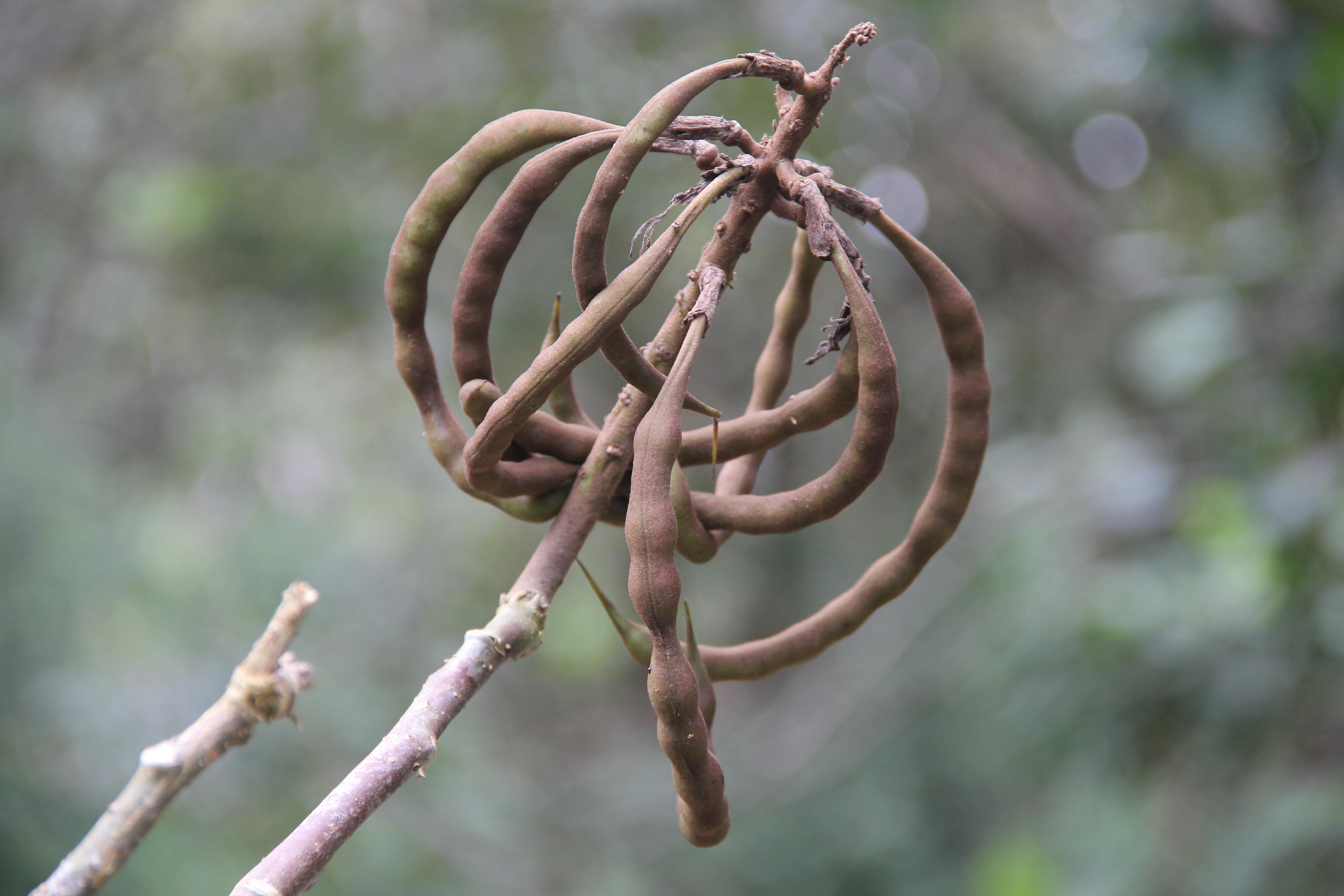 Erythrina berenices image