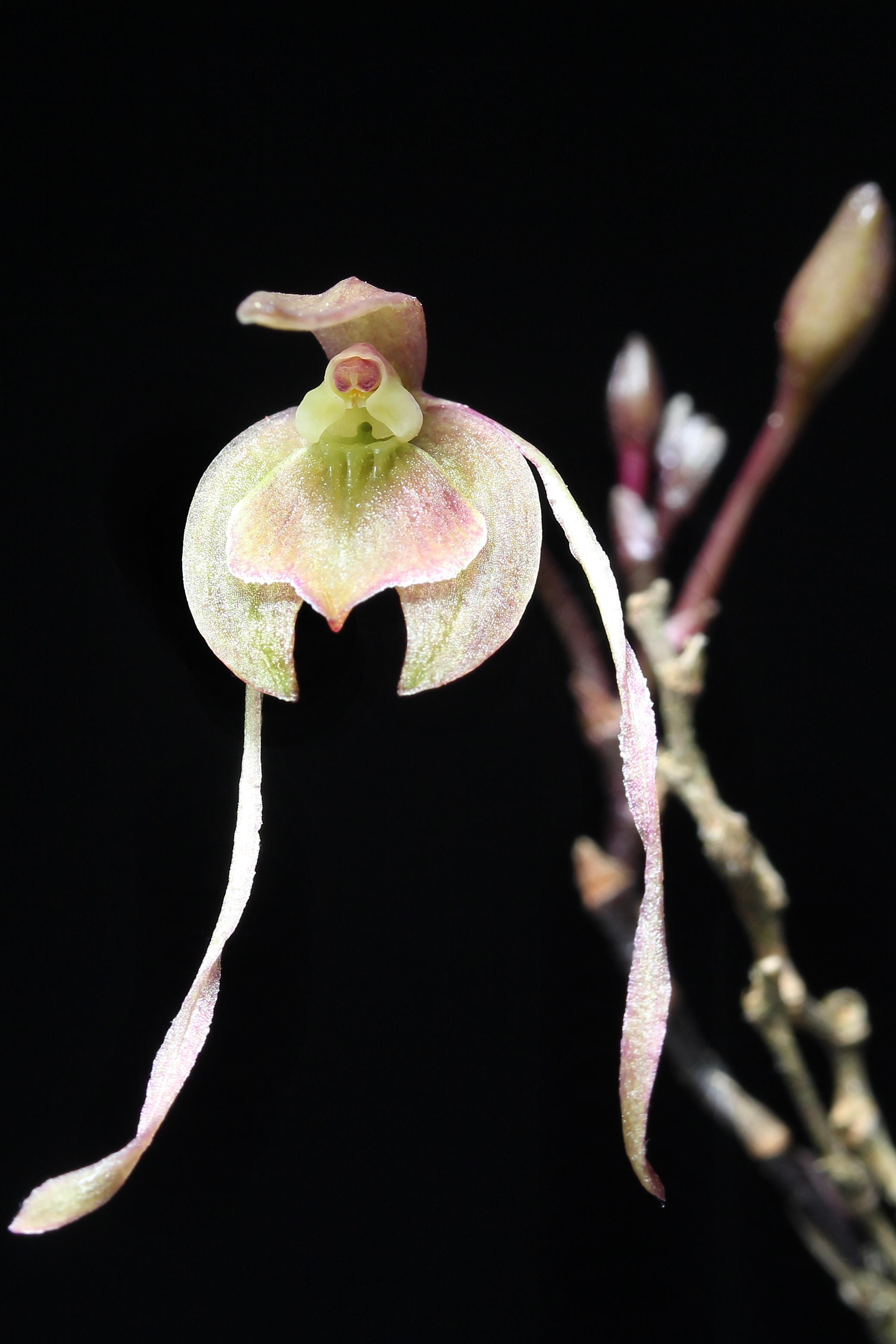 Epidendrum longipetalum image