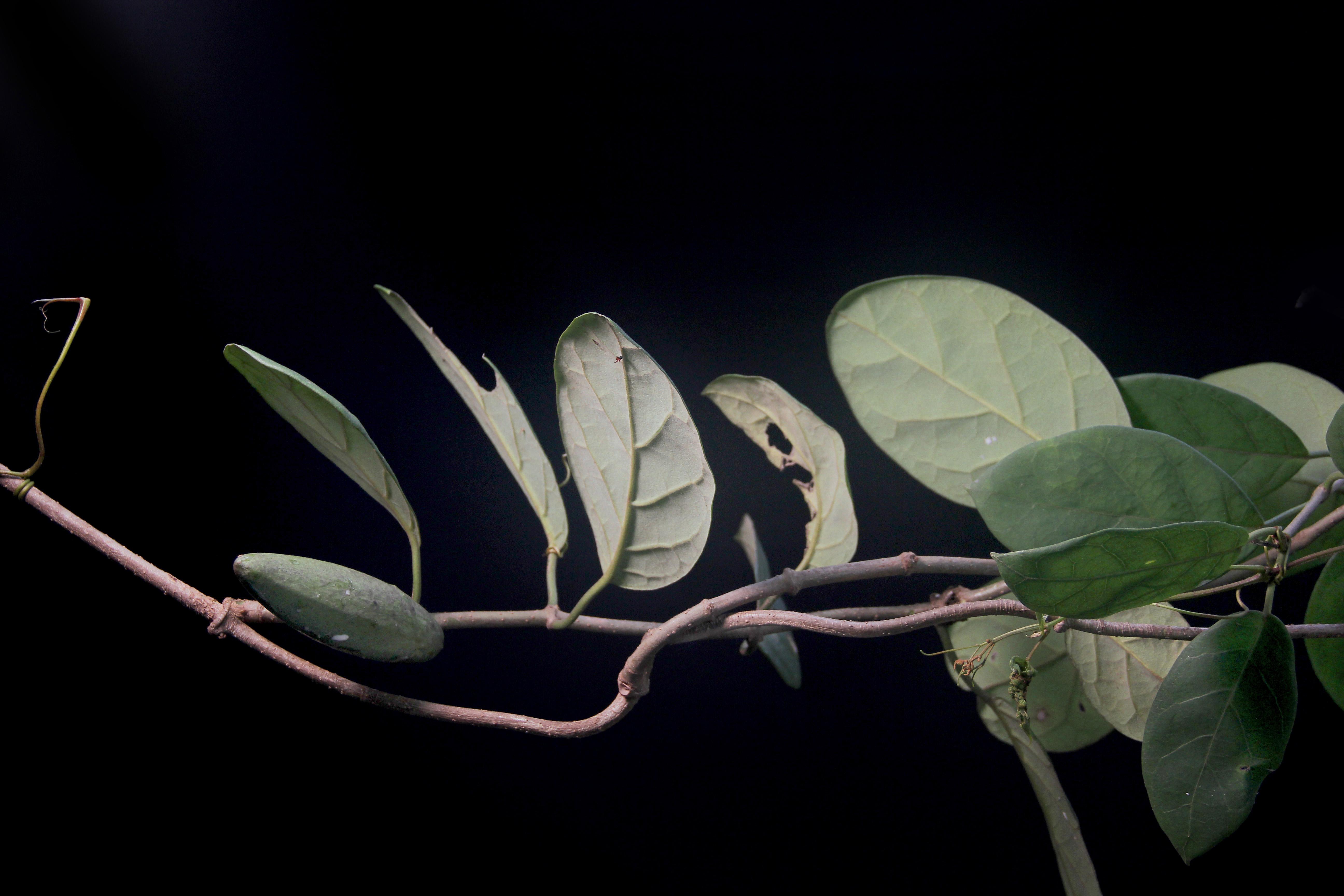 Marsdenia propinqua image