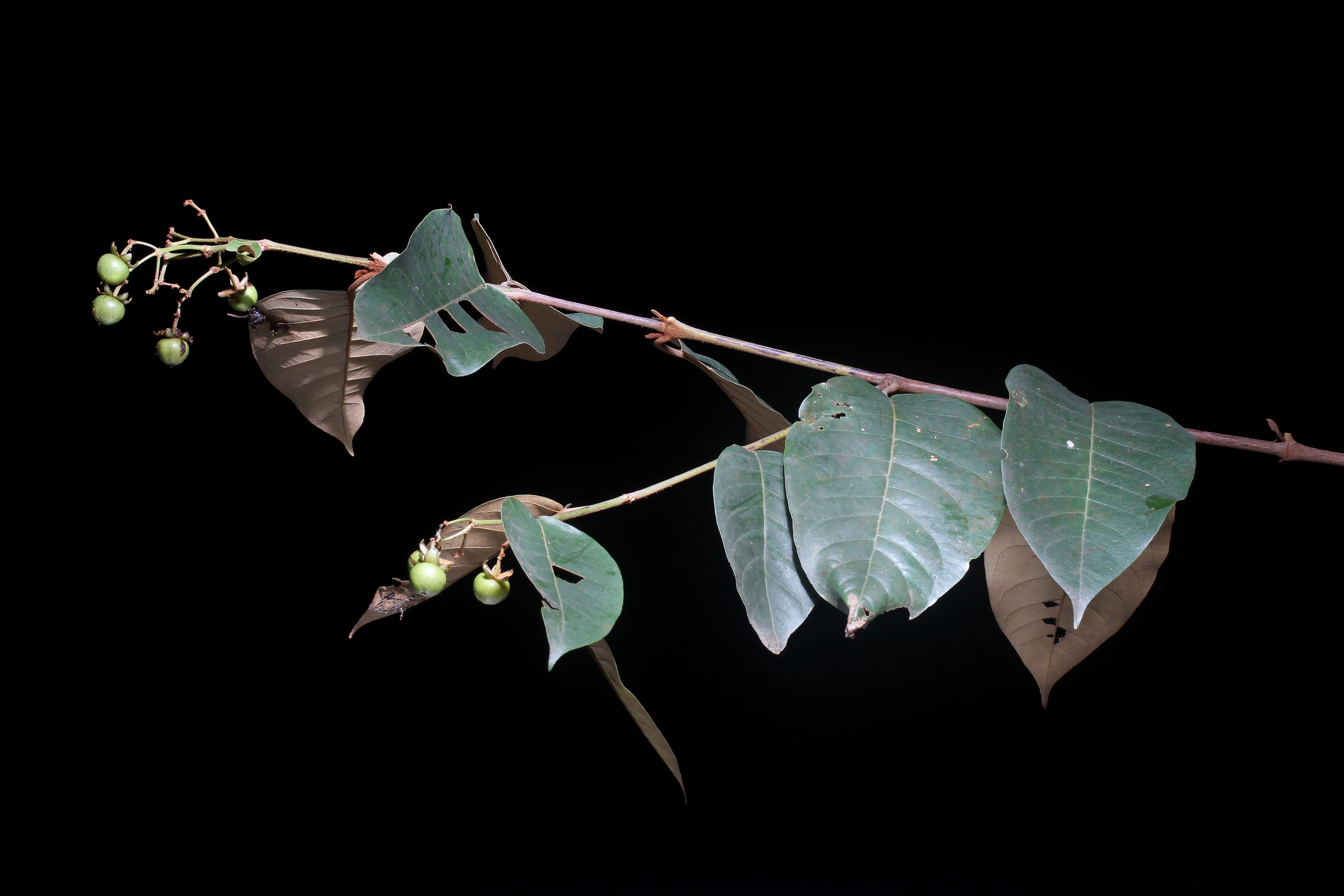 Vismia baccifera subsp. baccifera image
